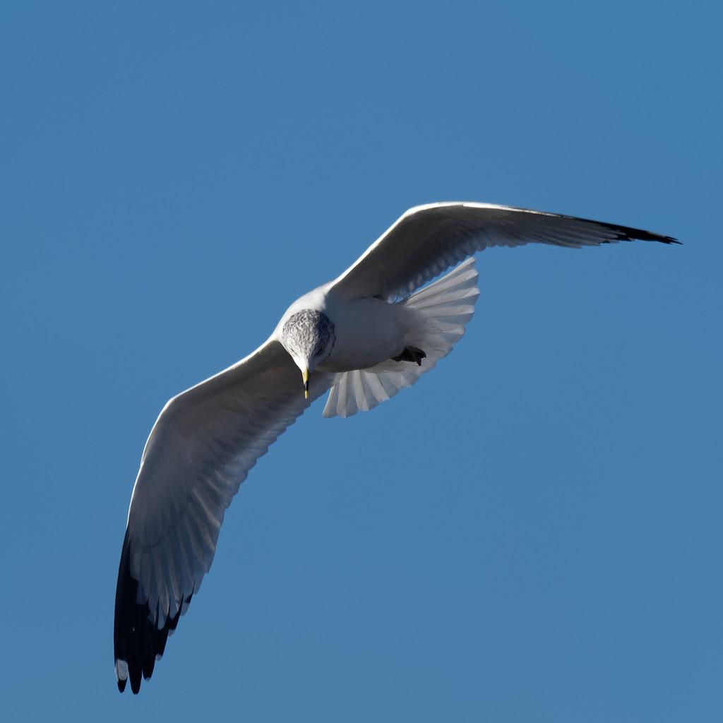 gull forward  by rminer
