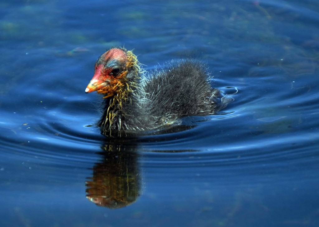 Australian cootlet baby by maureenpp