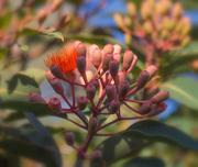 4th Jan 2019 - My favourite tree in my garden - Flowering Gum