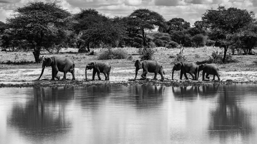 Elephants Walking Along the Waterhole by taffy