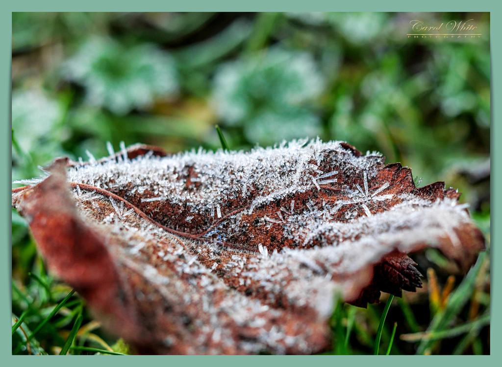 Frosted Leaf by carolmw