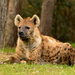 Spotted (a) Hyena