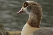 4th Jan 2019 - Eygptian Goose