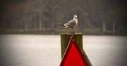 4th Jan 2019 - Lone Seagull, on the Post!