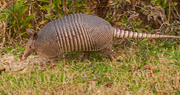 4th Jan 2019 - Armadillo Out for a Stroll!