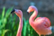 4th Jan 2019 - Flamingo Friday '19 01