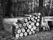 5th Jan 2019 - How much wood would a Woodcutter cut if a Woodcutter could cut wood?