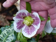5th Jan 2019 - The Trouble with Hellebores