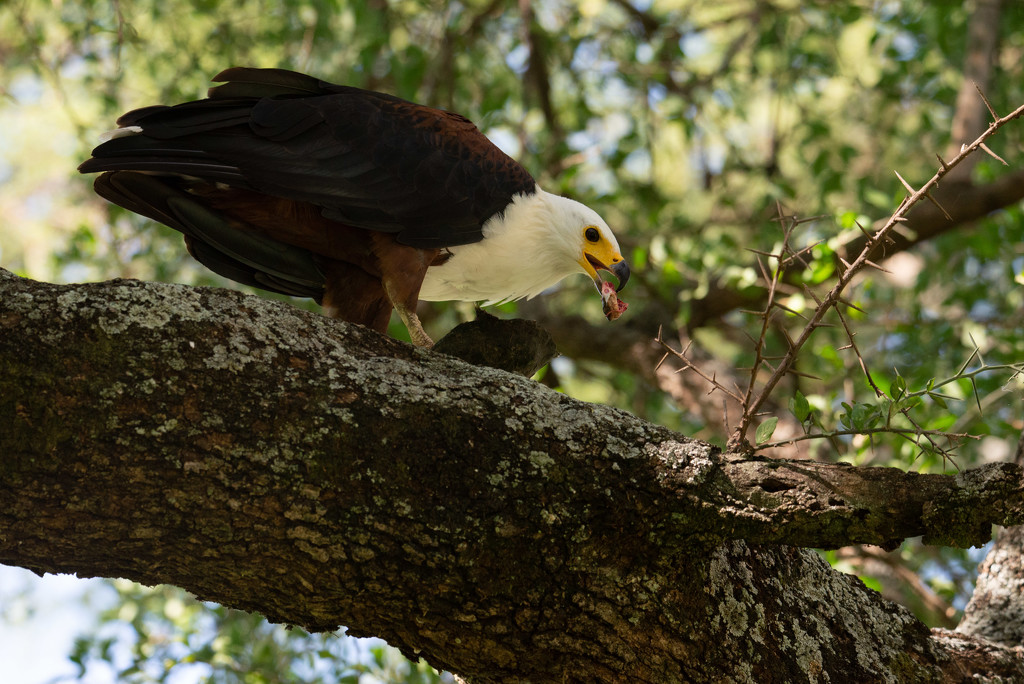 African Fish Eagle and the Terrapin by taffy