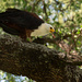 African Fish Eagle and the Terrapin