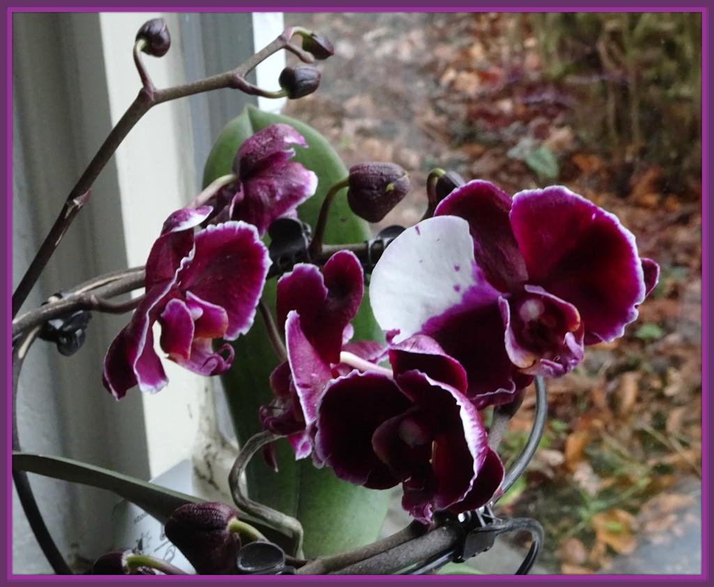 orchid by gijsje