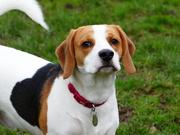5th Jan 2019 - A Beagle