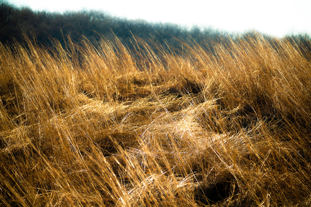 winter grasses by vankrey