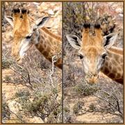6th Jan 2019 -  Giraffe in Aquila