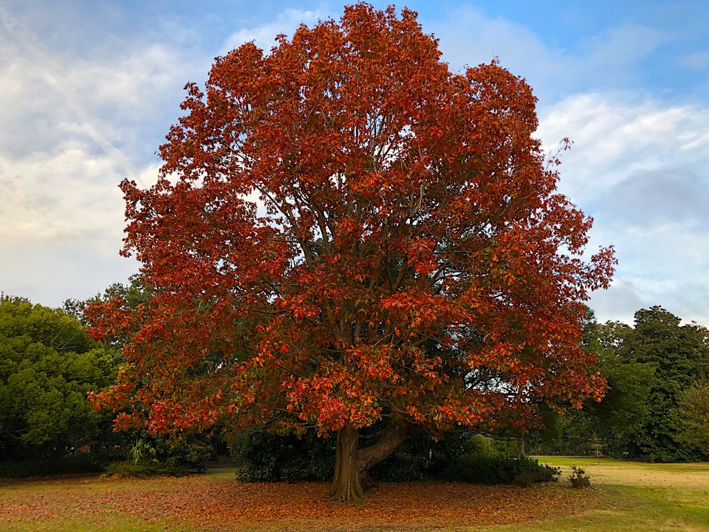 Southern red oak  by congaree