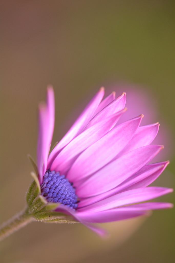 African daisy.... by ziggy77
