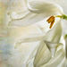 fading tulip 2 by jernst1779