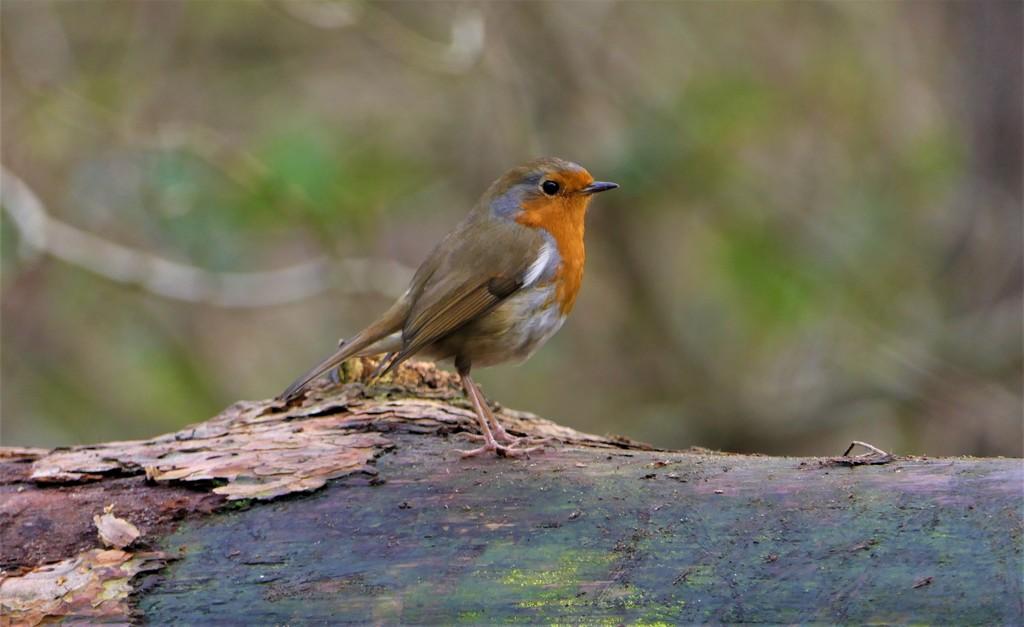 Robin on a Log by carole_sandford