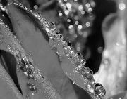 7th Jan 2019 - B&W Challenge (tag bw-37) - Droplets/Bubbles