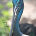 Black- necked Stork by annied