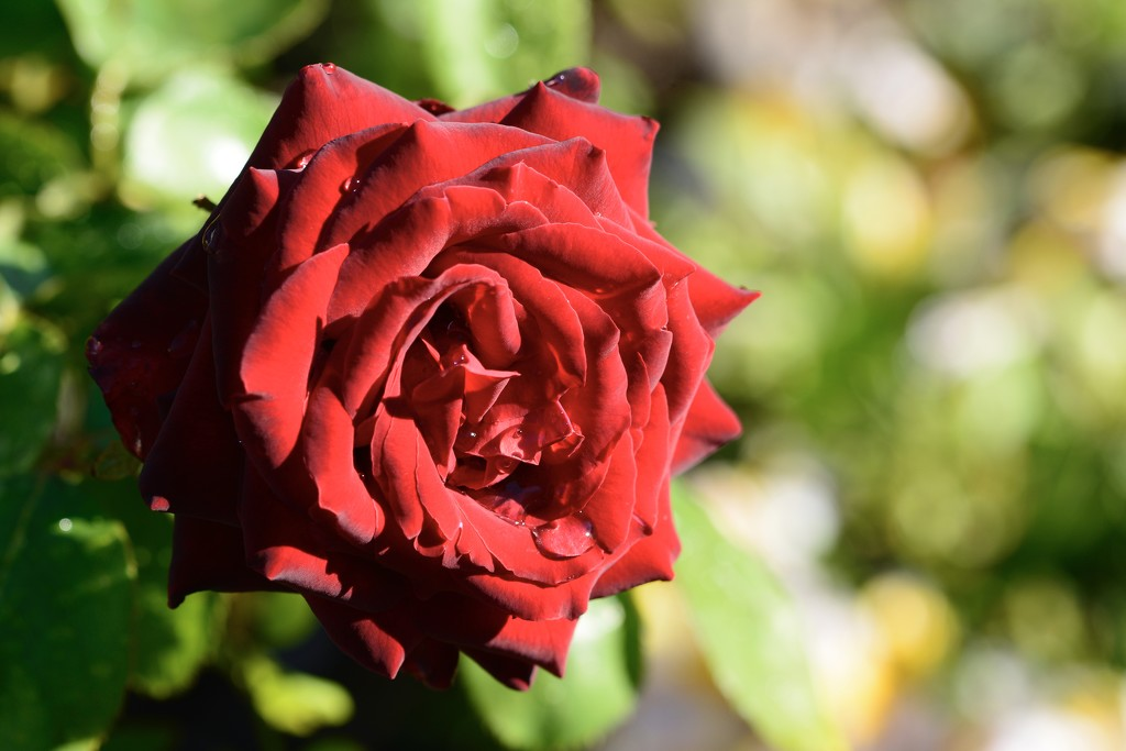 Red, Red Rose....._DSC4071 by merrelyn