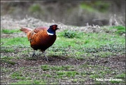7th Jan 2019 - Pheasant at RSPB Sandy