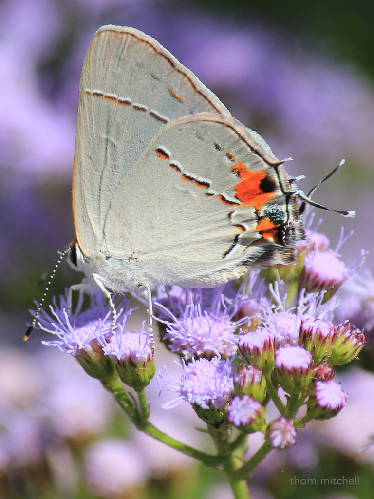 Gray Hairstreak by rhoing