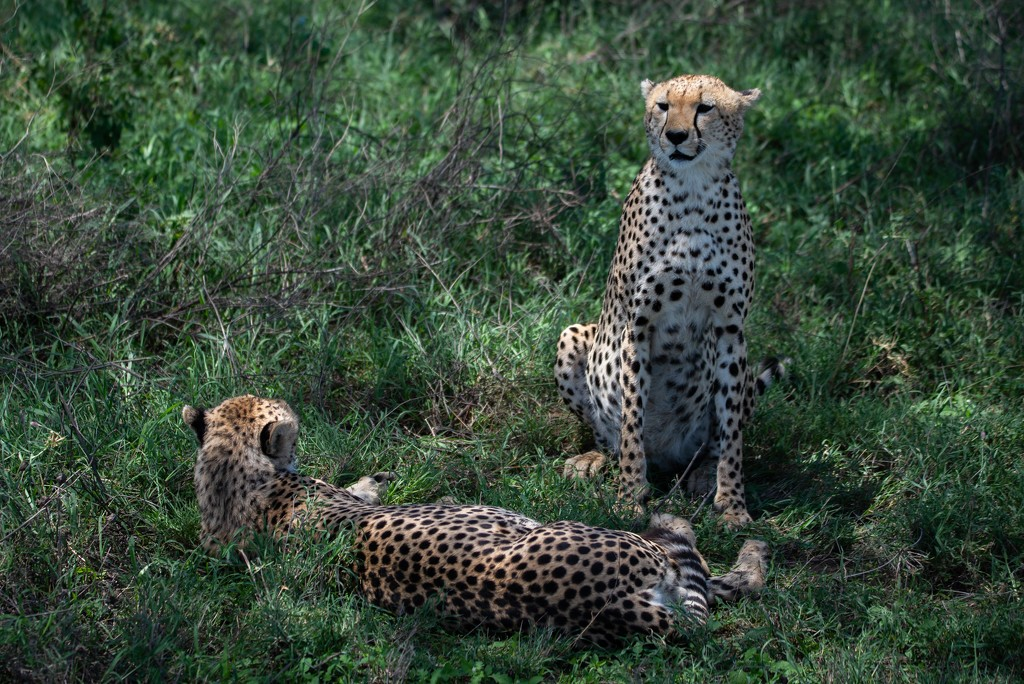 Cheetah Brothers Relax Under a Tree by taffy