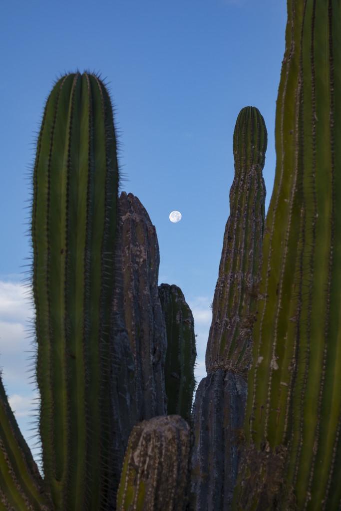 Moon Through Saguarro  by jgpittenger