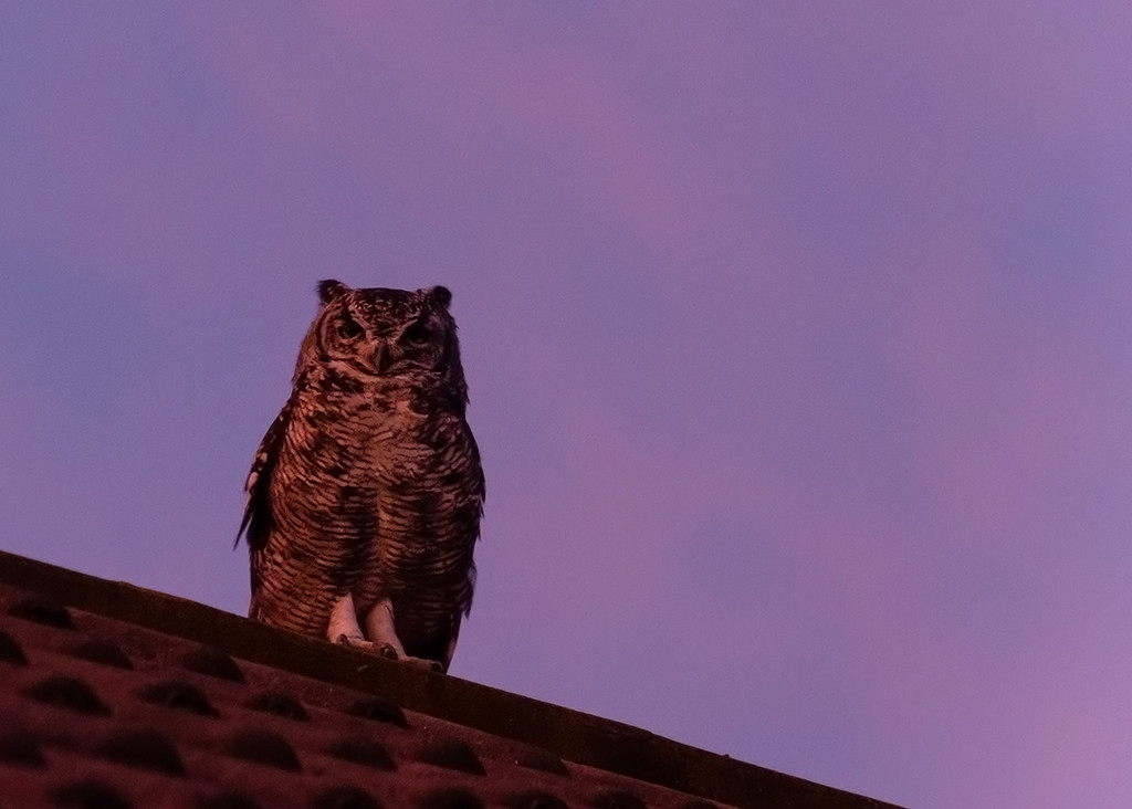 Owl at Suset by salza