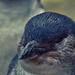Fairy (Little, Little Blue) Penguin by annied