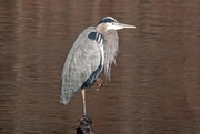 7th Jan 2019 - Can You Believe - A Patient Heron?