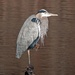 Can You Believe - A Patient Heron? by milaniet