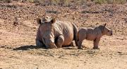 8th Jan 2019 - Six weeks old Rhino baby