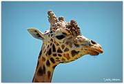 8th Jan 2019 - Jerry Giraffe..