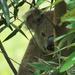 peek-a- by koalagardens