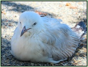 4th Jan 2019 - Scruffy the Seagull