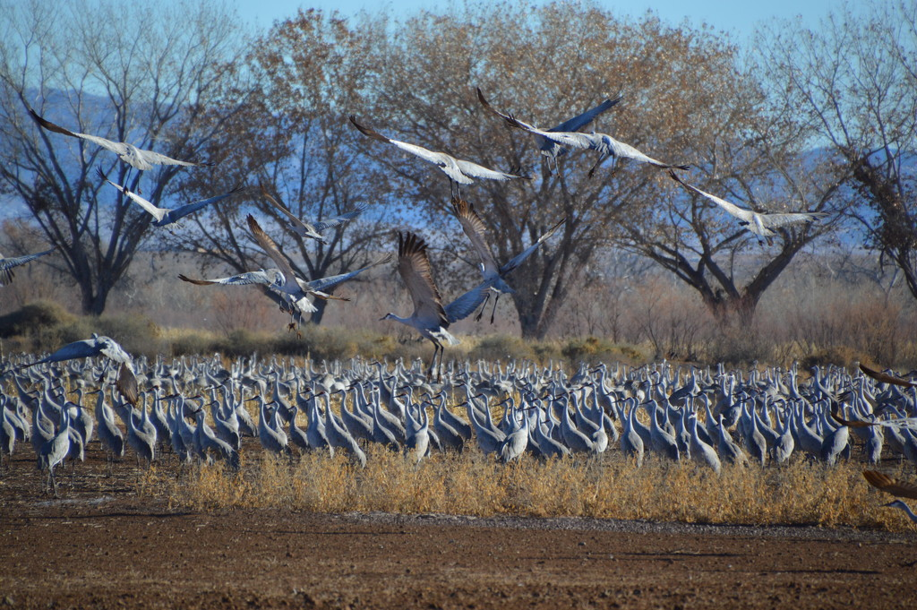 Sandhill Cranes At bosque Del Apache, by bigdad