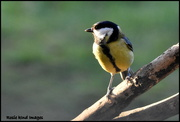 8th Jan 2019 - Another great tit another day