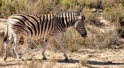 9th Jan 2019 - One of a herd of Zebra