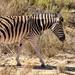 One of a herd of Zebra
