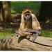 Sorrowful Spider Monkey