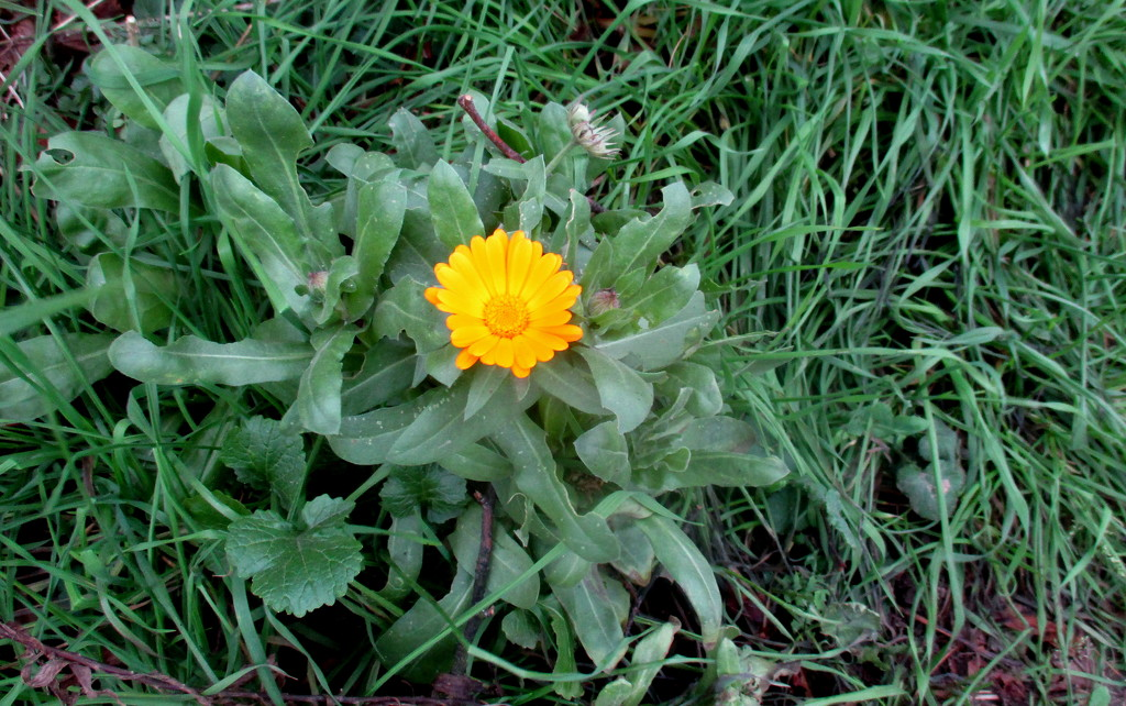 January and calendulas in flower! by g3xbm