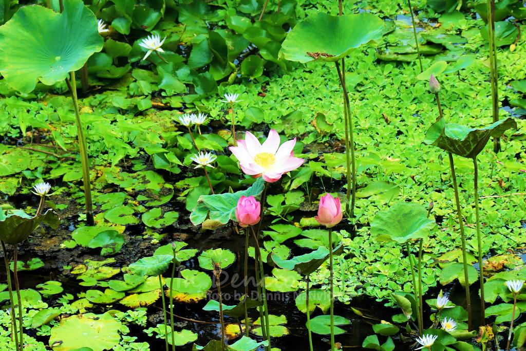 Like A Lotus Flower by iamdencio