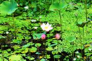 2nd Jan 2019 - Like A Lotus Flower
