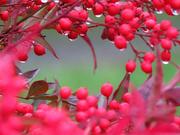 9th Jan 2019 - Rain Soaked Winter Berries
