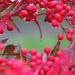 Rain Soaked Winter Berries