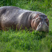 Hippo Heads to the Pool after a Night of Feasting on Grass