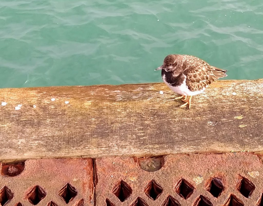 Turnstone by 4rky