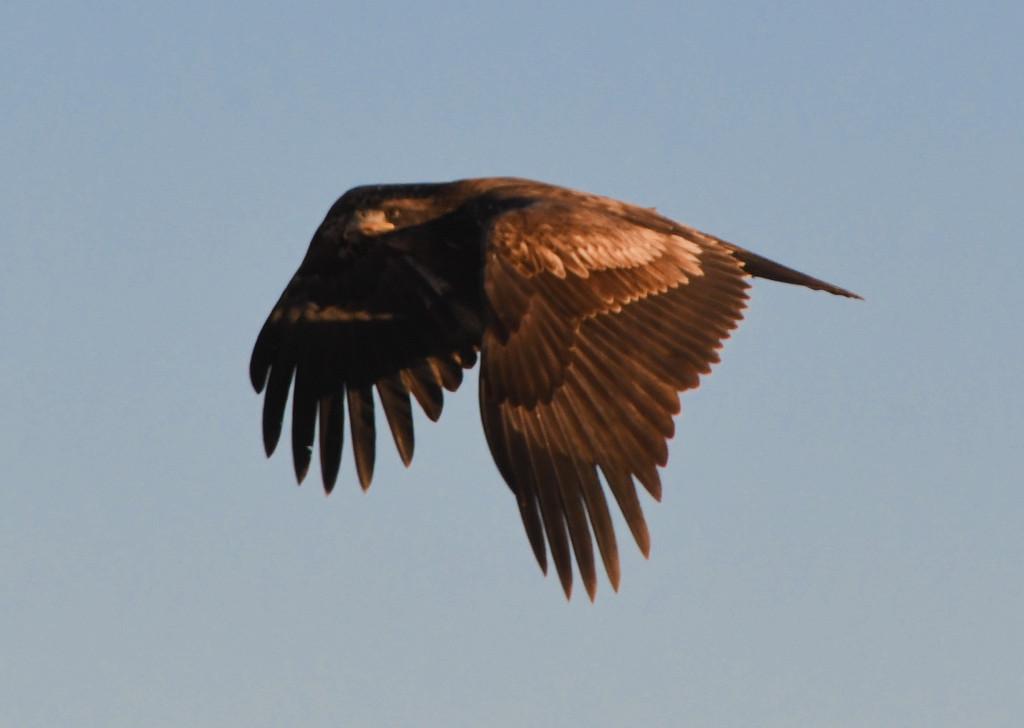 Golden Eagle in Flight by kareenking